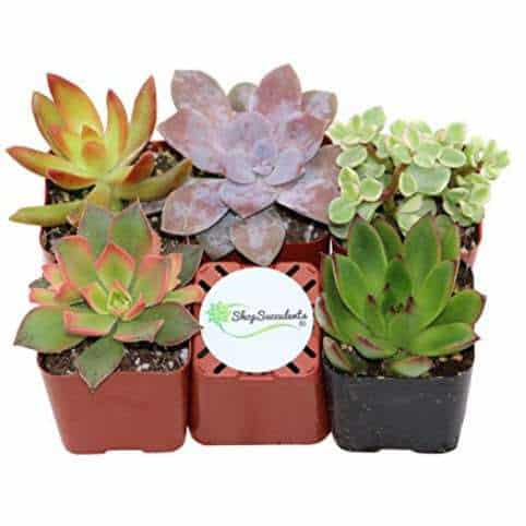 Collection of 5 Unique Succulents Only $15.99