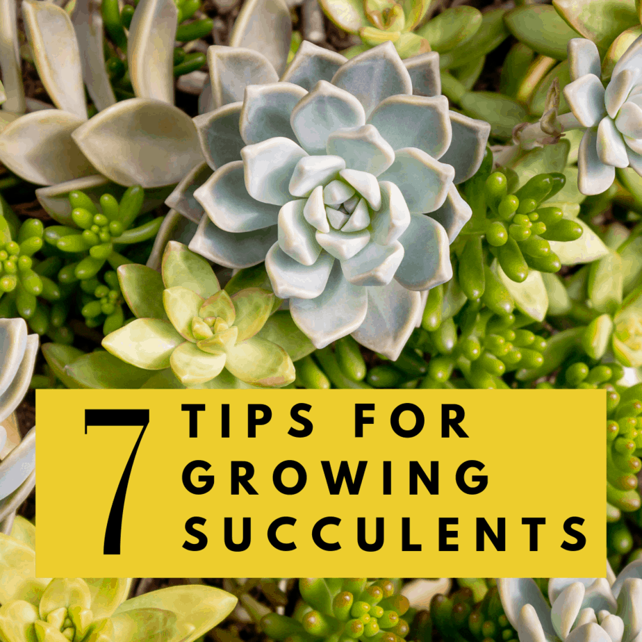 No Green Thumb? Use these 7 Tips for Growing Succulents