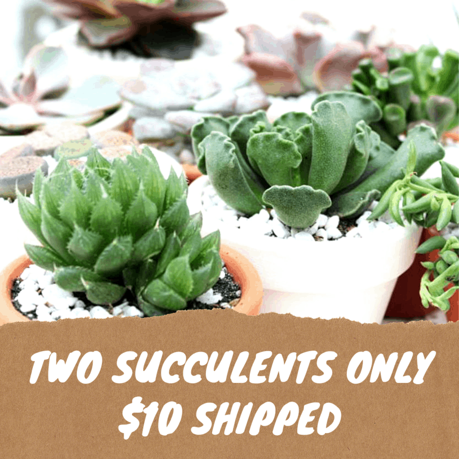 Two Succulents Only $10 Shipped