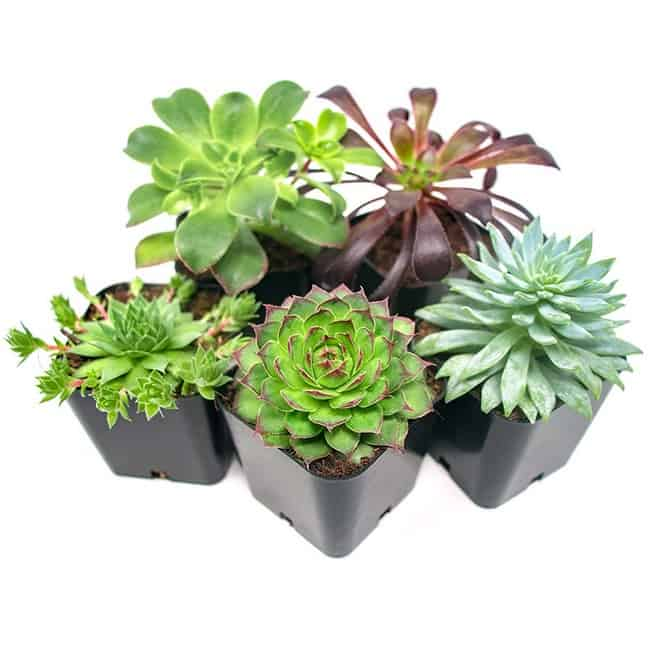 Save 25% or More on Succulents & Bonsai Trees for Mother's Day ~ 5-Pack Only .96